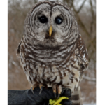 The_Barred_Owl_at_Eagle_Bluff_Environmental_Learning_Center