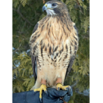 The_Red_tailed_Hawk_at_Eagle_Bluff_Environmental_Learning_Center